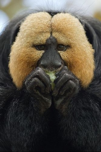 Macaco-parauacu encara fotógrafo enquanto come no seu alojamento no zoológico de Nuremberg, na Alemanha
