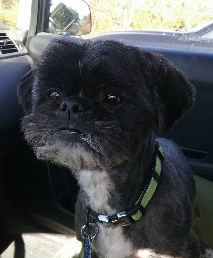 Another wonderful and successful rescue today with http://stfbr.org/ Angel is an adorable 1 yr old female Shih Tzu waiting for her forever family. Jackson is a sweet 3.5 yr old male Shih Tzu looking for his forever family. Ralphie went to his forever family. #adoptapet #stfbr #adoptdontshop