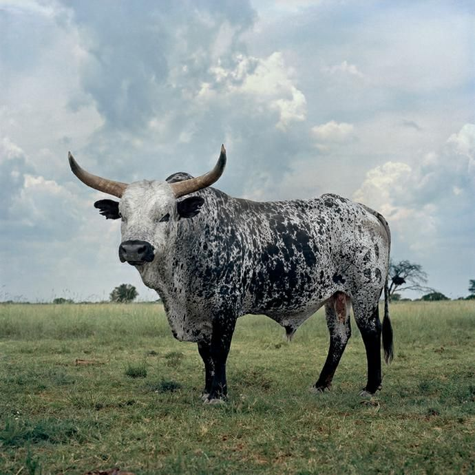 Daniel Naude - Black and white Nguni bull. Stella, North West Province, 1 March 2010