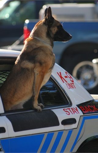 A Belgian Malinois stands at attention in Lake Tahoe, Calif. - policemag.com - POLICE Magazine. Looks like Boyou