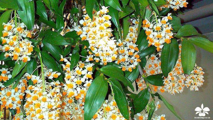 Dendrobium densiflorum x farmeri #Orchideen #Orchidee #Orchideengarten #orchid #orchids #orchidaceae #Dahlenburg #Wendland #Niedersachsen #Norddeutschland #Ausflugsziel #Gruppenangebote #Hamburg #Lüneburg