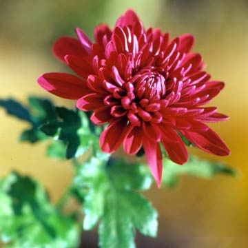 17 Best images about Chrysanthemum on Pinterest
