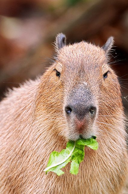 «Won't you let me finish my meal?» A Capybara...