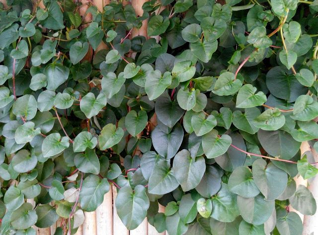 Binahong (Heartleaf maderavine madevine / Basella rubra linn)
