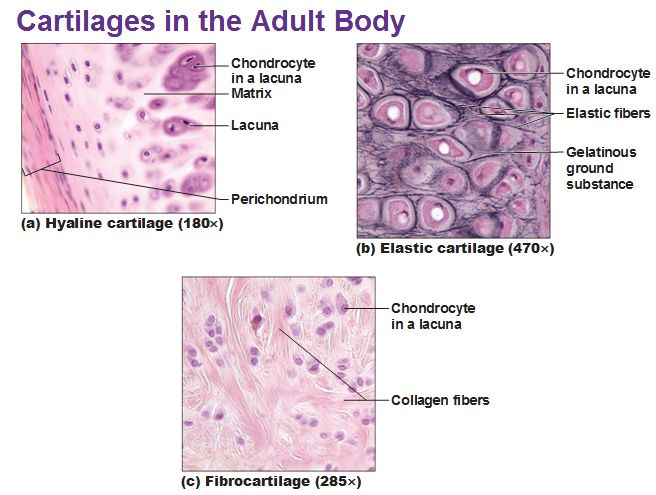 three types of cartilage hyaline elastic and fibrocartilage