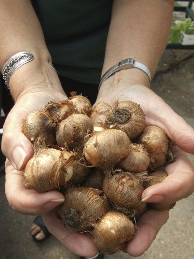 Crocus Bulb Storage: Learn How To Cure Crocus Bulbs -  : If you choose to remove the bulbs until the next growing season, it is important to know when to dig up crocus bulbs. Learn how to cure crocus bulbs in the article that follows. Click here for more information.