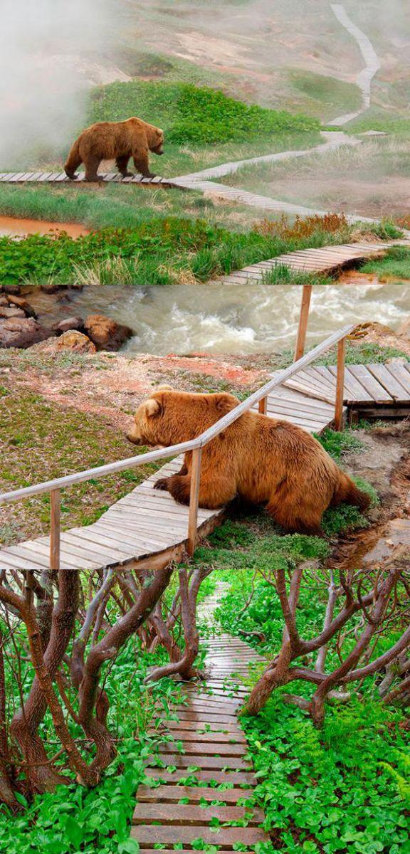 Bear watching in Kamchatka. Siberia. Russia. These brown bears look just like their Kodiak Island cousins. McC