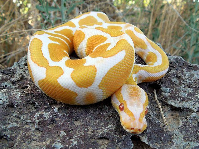 Images For: Yellow Anaconda / Python / Breeders / Temperament / Pet / Snake