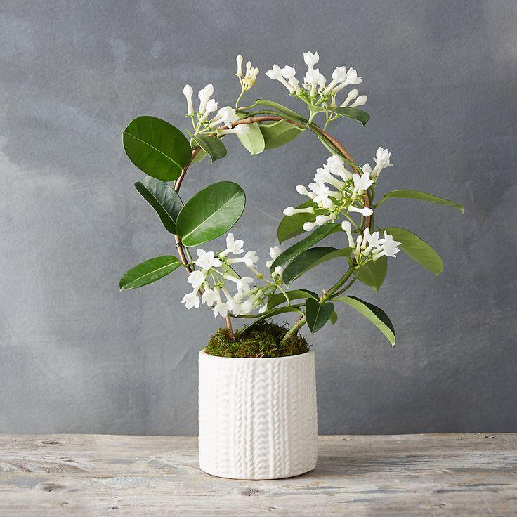 25 best ideas about jasmine plant indoor on pinterest. Black Bedroom Furniture Sets. Home Design Ideas