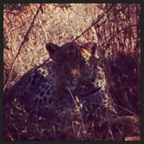 Leopard in Pilanesberg National Park.  Love living in South Africa!