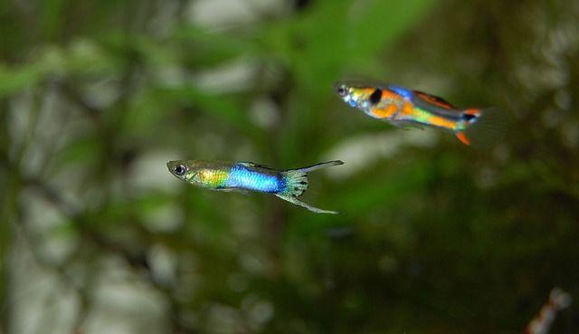 Best Tank Mates For Guppies The Pet Supply Guy In 2020 Guppy Fish Pet Fish Aquarium Fish