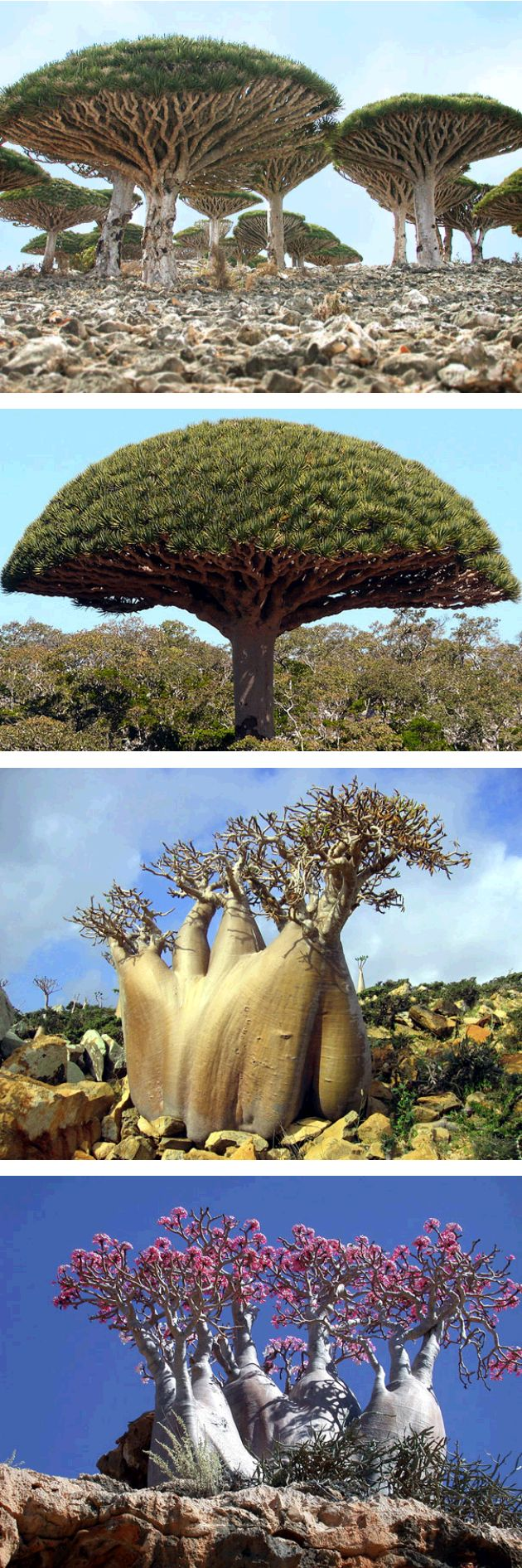 [*- Especies de la Isla de Socotra, Yemen: Árbol Sangre de Dragón (Dracaena cinnabari) § Árbol Pepino (Dendrosicyos socotrana), única cucurbitácea que crece en forma de árbol. Su tronco, de hasta 1 m de diámetro, con forma de botella lo hace distintivo. Tiene una pequeña corona; flores amarillas (3 cm), masculinas y femeninas en la misma planta. Frutas (3 x 5 cm) verdes, volviéndose de color ladrillo rojo cuando maduran. § Rosa del Desierto (Adenium obesum): no es un árbol sino una planta.]