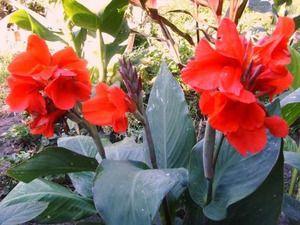 Канны - фото цветов