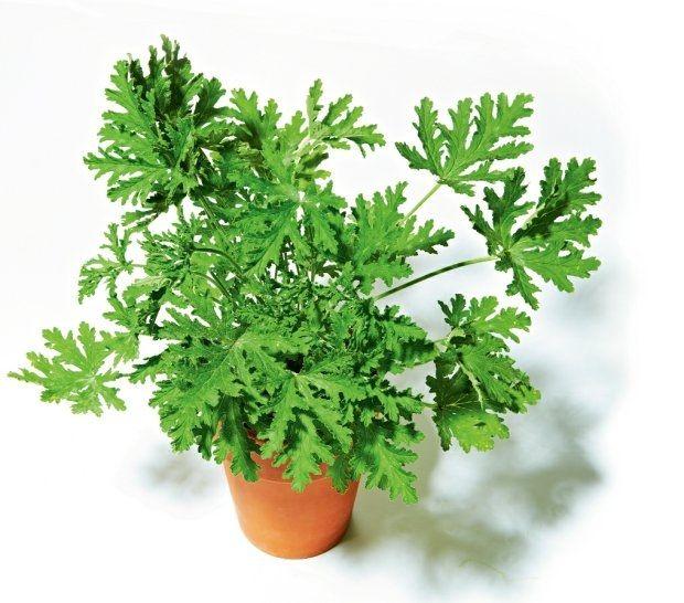 Zobacz zdjęcie Szkodliwe dla kotów - Popularne rośliny domowe, Geranium - anginowiec w pełnej rozdzielczości