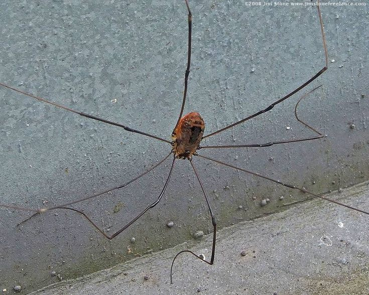 creepy granddaddy pictures | Daddy Long-Legs Spiders