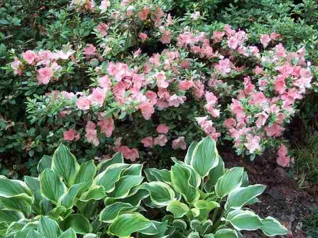 Shrubs For Shade Houston : Best images about ideas for mm on front