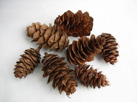 100 DOUGLAS FIR CONES Evergreen Pine Cone Décor Natural Craft Supplies