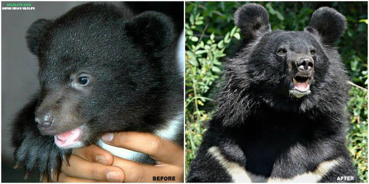 Meet Julie, an #AsiaticBlackBear, rescued by #WildlifeSOS from Seer Hamadan, J&K in July 2007. This little girl was found in the backyard of a house orphaned due to human-wild conflict. Hand reared by our experienced veterinarians, Julie is now a healthy 10 year old who loves eating dates and playing with her friends, Fancy & Rosie at the #DachigamRescueCenter in #Kashmir.  Our Project in Kashmir also involves working with local communities and sensitizing them to increase tolerance and…
