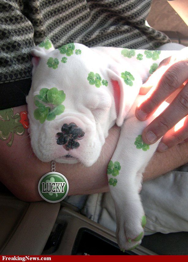 St. Patrick's Day Boxer Pup