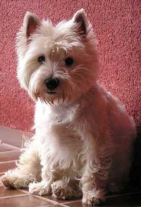 Rasy psów - West Highland White Terrier