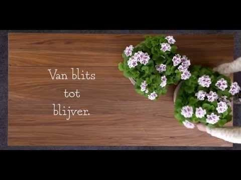 Franse Geranium | Mooi wat planten doen In de winter kun je de Franse Geranium terugsnoeien tot tien centimeter en laten overwinteren in een kamer bij zo'n 12°C