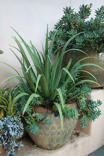 Agave bracteosa in pot by David Feix Landscape Design, via Flickr