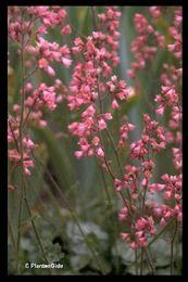 Heuchera sanguinea 'Splendens' Purperklokje, familie van de Saxifragaceae. De bloemkleur is rood en de bloeitijd is van ca. juni tot en met juli. De bladeren zijn groen en ongeveer 20 cm. hoog. De volwassen hoogte van deze vaste plant is ca. 50 cm. Verdraagt een temperatuur tot -30 gr. C. en blijft de gehele winter groen. De geadviseerde plantafstand is 30 cm. (8-11 st. per m2.) Is slecht verkrijgbaar.