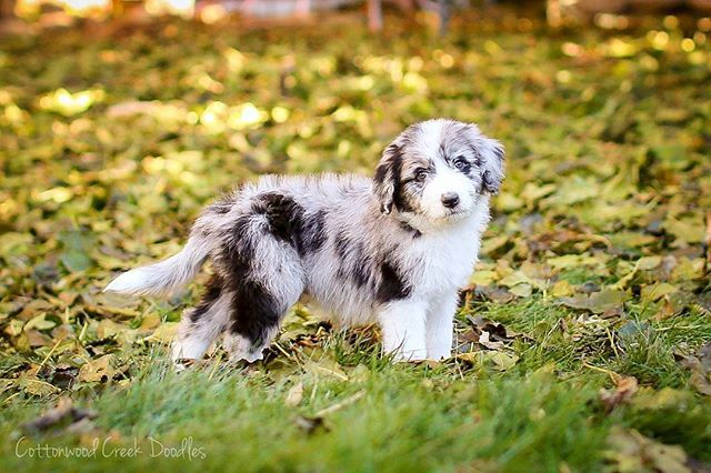 What Are Miniature Aussies Related To Into Dog Breeds