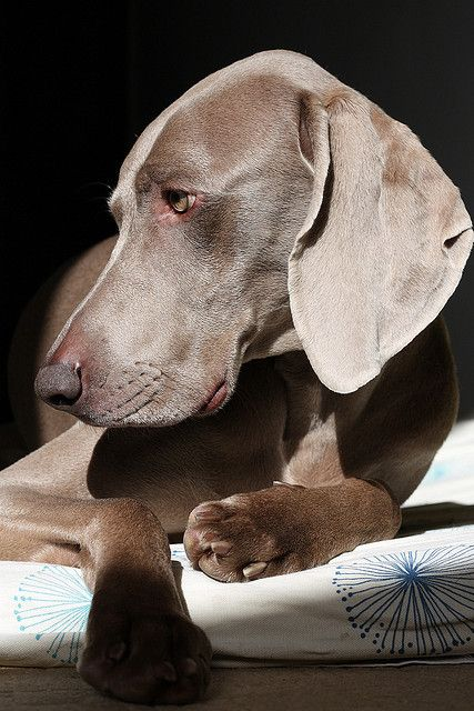 Weimaraner. This looks so much like my beloved Belle. Oh how I miss you...