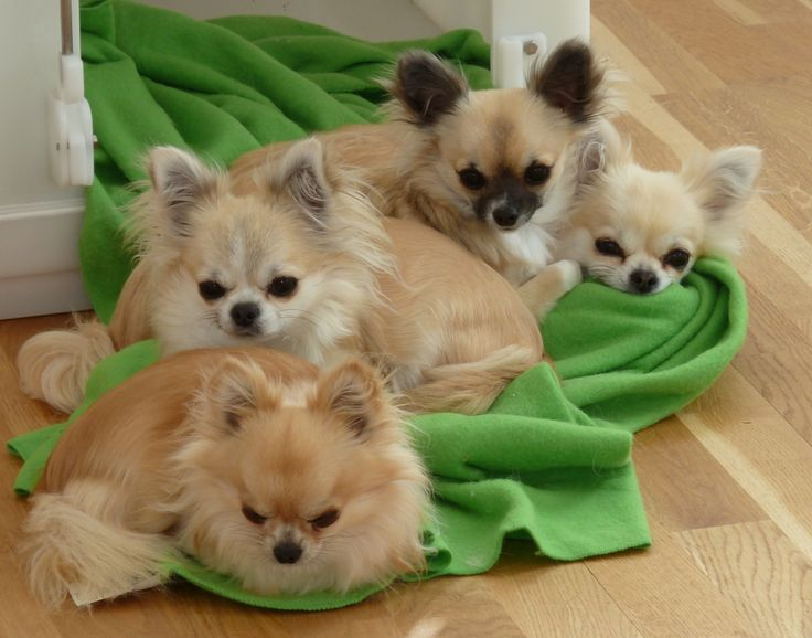 long coat chihuahuas | Pocoperro Chihuahuas | (Long Coat Chihuahuas)
