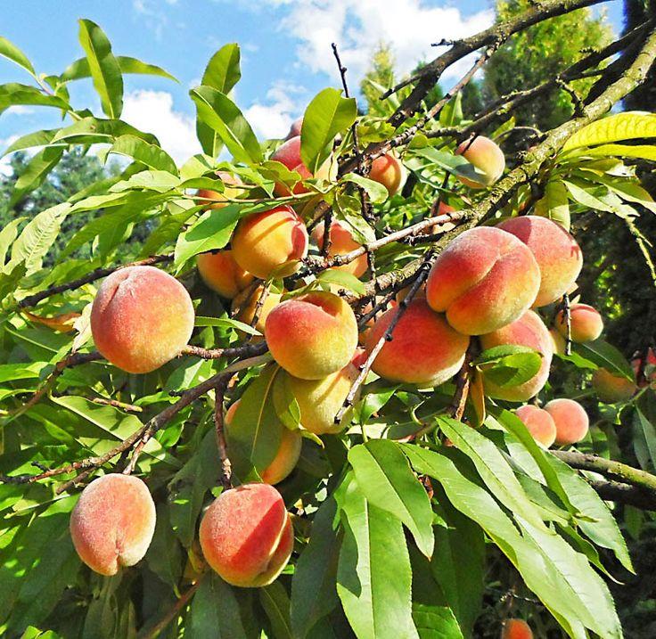 Uprawa brzoskwiń nie jest łatwa w naszym klimacie.Pomogę Ci jednak ogarnąć ten temat aby Twoje brzoskwinie obficie i zdrowo owocowały!