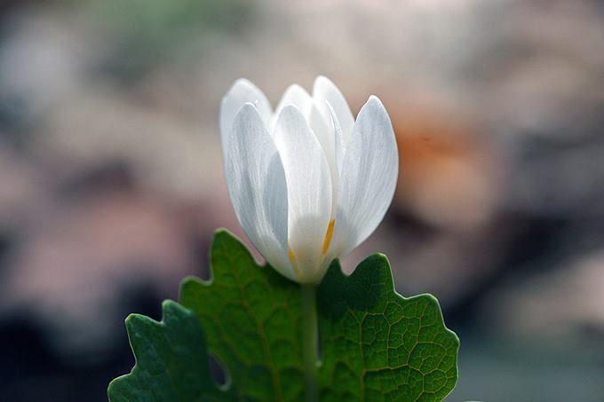 Sanguinaria canadensis ou bloodroot (raiz de sangue) é uma planta perene , herbácea nativa do leste da América do Norte desde a Nova Scotia , Canadá até a Florida.   As plantas começam a florescer antes da folhagem e se desenvolvem no início da primavera. As flores nascem de março a maio, com 8-12 pétalas brancas delicadas e amarelo cor do material reprodutivo.   As flores são polinizadas por abelhas pequenas e moscas, as sementes se desenvolvem em alongadas vagens verdes 40-60 mm de…