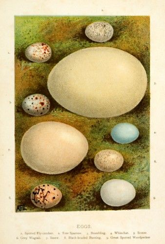 Eggs. Spotted Fly-catcher, Tree Sparrow, Brambling, Whincat, Scoter, Grey Wagtail, Smew, Black-headed Bunting, Great Spotted Woodpecker. #easter #naturalhistory  ...