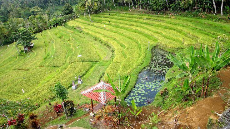 Bali - campos de arroz Ubud
