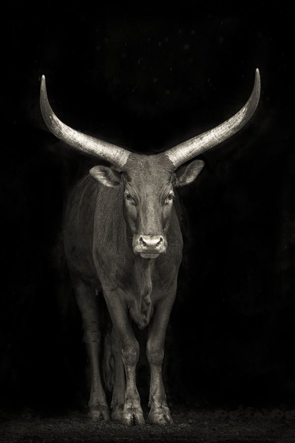 A Watusi cow in Cabarceno Wildlife Park, Spain.  This is a breed of cattle originally native to Africa.  by Mario Moreno