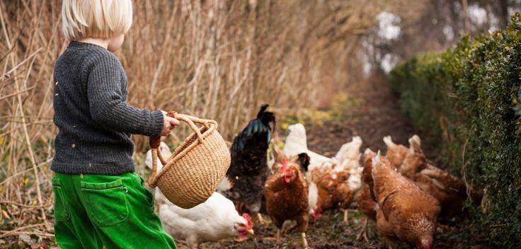 Dreng fodrer høns. Boy feeding chickens.
