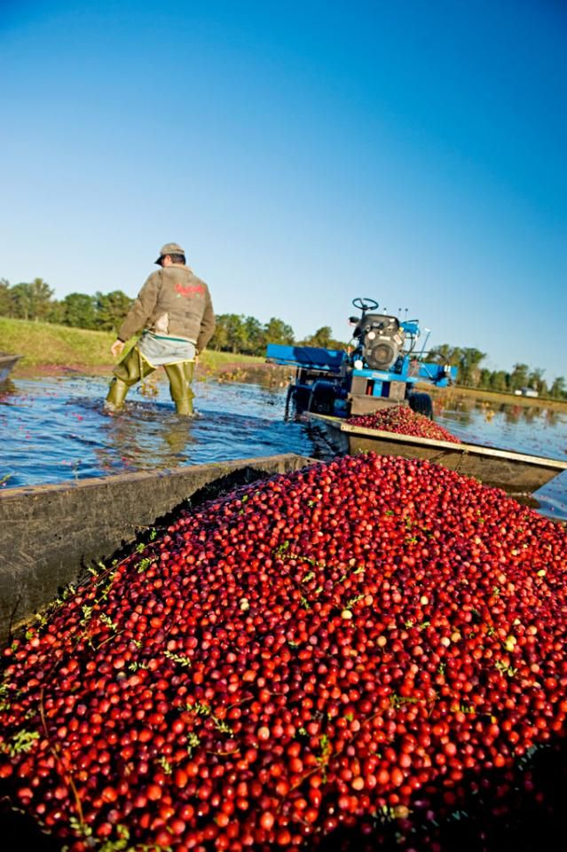 Family farms and berry-theme attractions in central Wisconsin draw visitors for the autumn cranberry harvest.