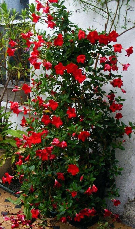 Piante rampicanti da balcone - Fiori rossi per la pianta rampicante