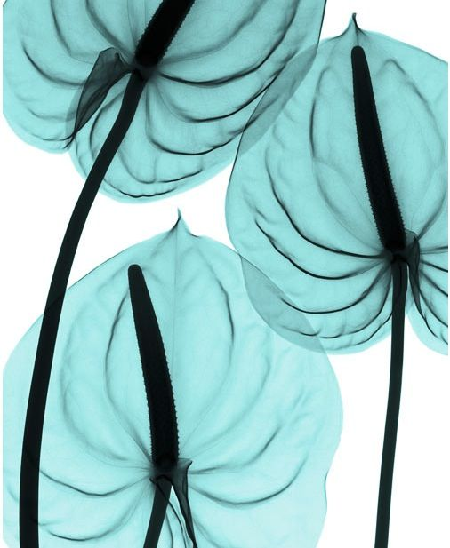 Flowers X-rays By Hugh Turvey