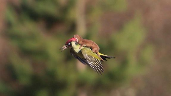 Here's a photo of a weasel riding a woodpecker