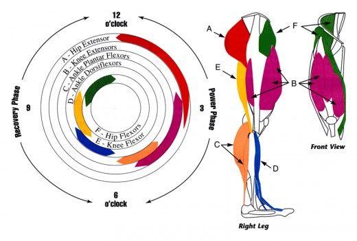 jambe de vélo anatomie musculaire et leur utilisation lors de la course de la pédale.