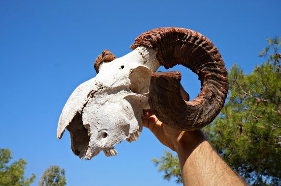 Large Vintage Ram Skull With Twisted Horns  Real by Mediterraneon