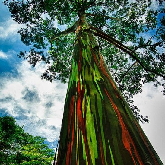 Mature Rainbow Eucalyptus Tree