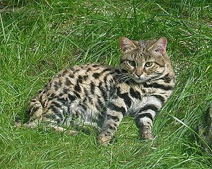 Die Schwarzfußkatze (Felis nigripes) ist die kleinste afrikanische Katze und in der südwestlichen Trockenzone des südlichen Afrika beheimatet.