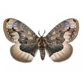 Vlinders :: Brahmaea tancrei