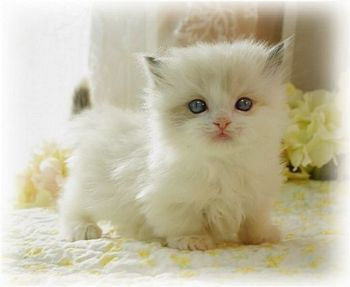 Little snowy Munchkin cat!.I want one it is adorable.Please check out my website thanks. www.photopix.co.nz