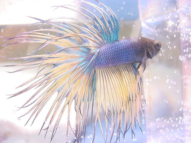 Pastel Crowntail Betta