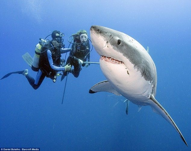 Insane deep sea diver Daniel Botelho enjoys swimming with great white sharks outside of a cage. He says the idea that they're dangerous is a Hollywood exaggeration…