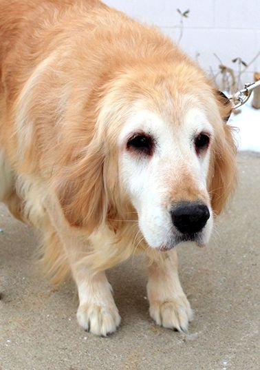 This is Becca - approx 5-6 yrs. She was rescued from a puppy mills where she had spent her entire life. She is spayed, current on vaccinations. She will need a canine pal in her forever home and a patient home willing to socialize her and give her time to learn and trust. Golden Retriever Rescue Resource, OH. - http://www.gr-rescue.org/golden_retrievers_for_adoption.html#.VraM9LIrJD8