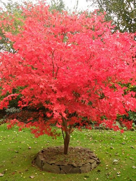 Acer palmatum Osakazuki (Osakasuk Sunset Japanese Maple)